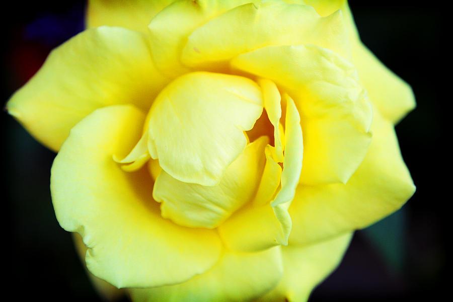 Rose Photograph - Yellow Rose by Ariane Moshayedi