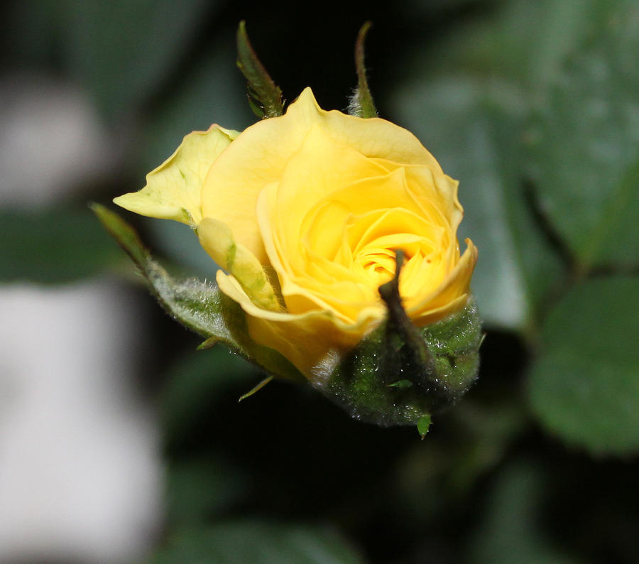 Rose Bud Photograph - Yellow Rose Bud by Evelyn Patrick