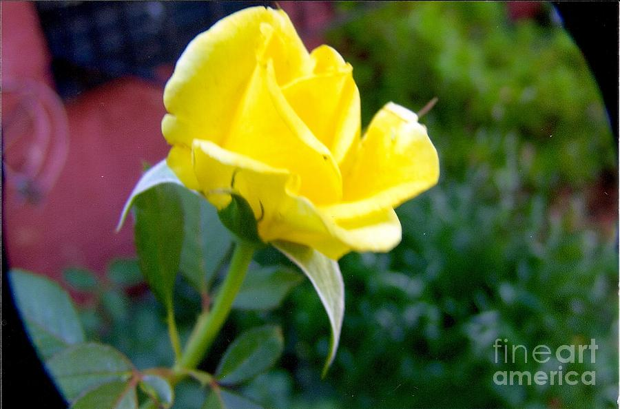 Yellow Rose Bud Painting by Rod Ismay