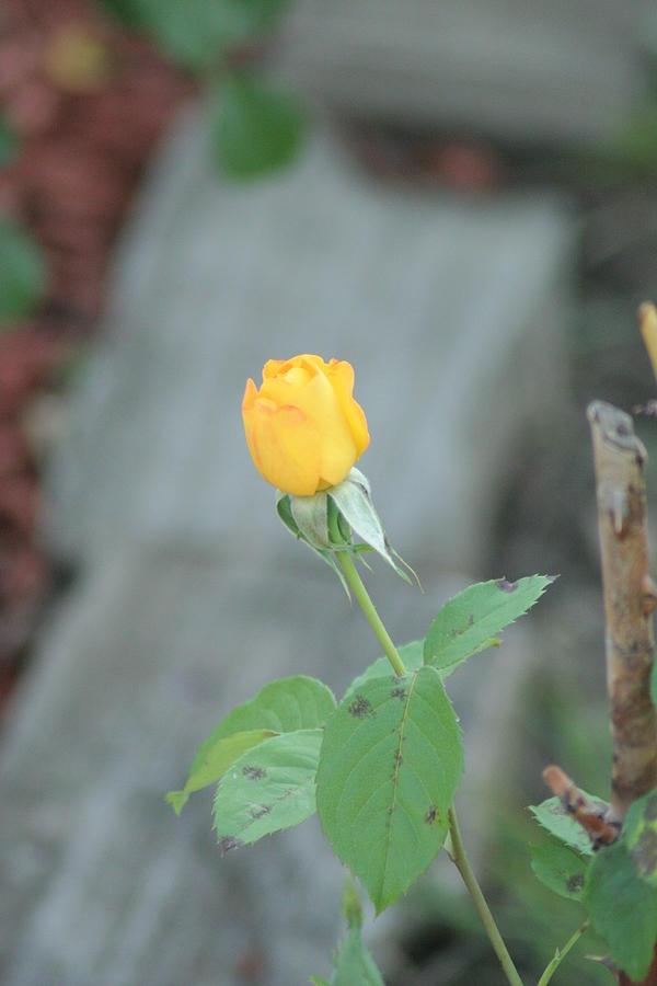 Yellow Photograph - Yellow Rose Bud by ShadowWalker RavenEyes Dibler