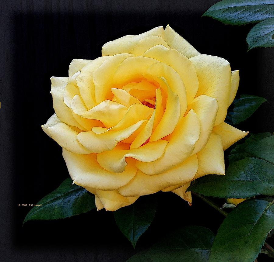 Flower Photograph - Yellow Rose by Edward Haskell