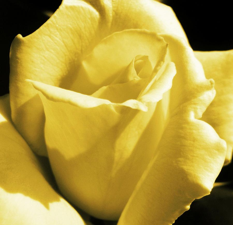 Rose Photograph - Yellow Rose by JAMART Photography
