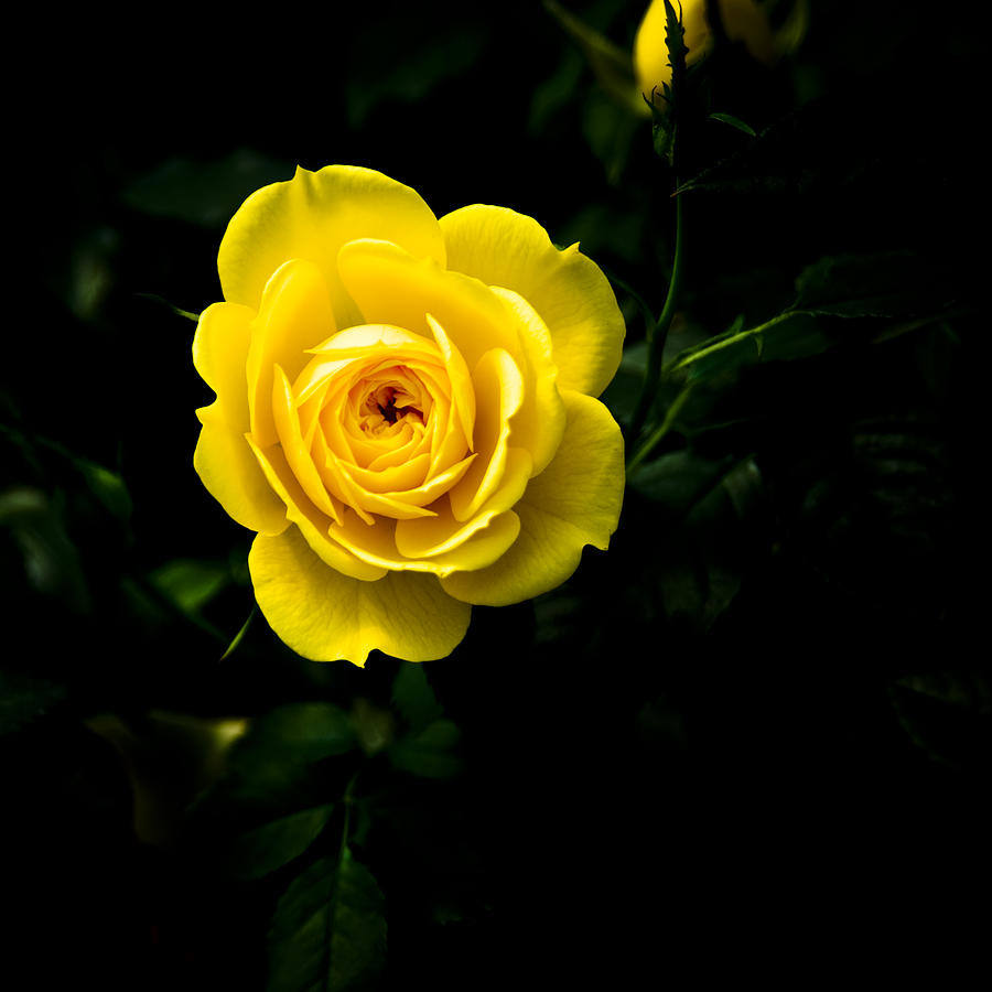 Floral Photograph - Yellow Rose by John Ater
