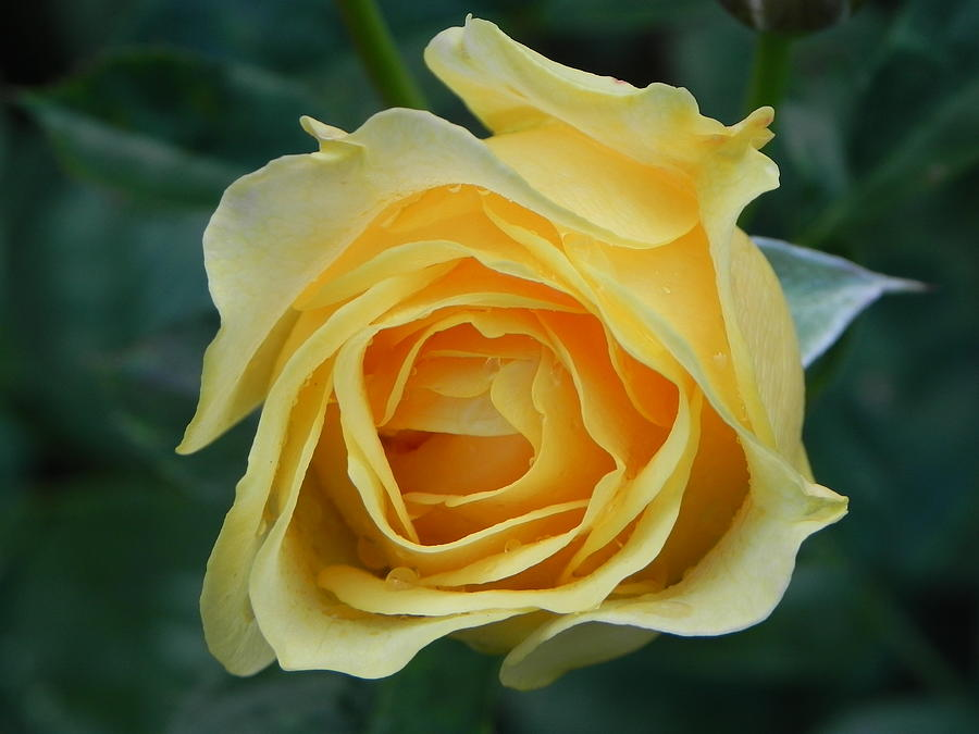 Yellow Photograph - Yellow Rose by John Parry