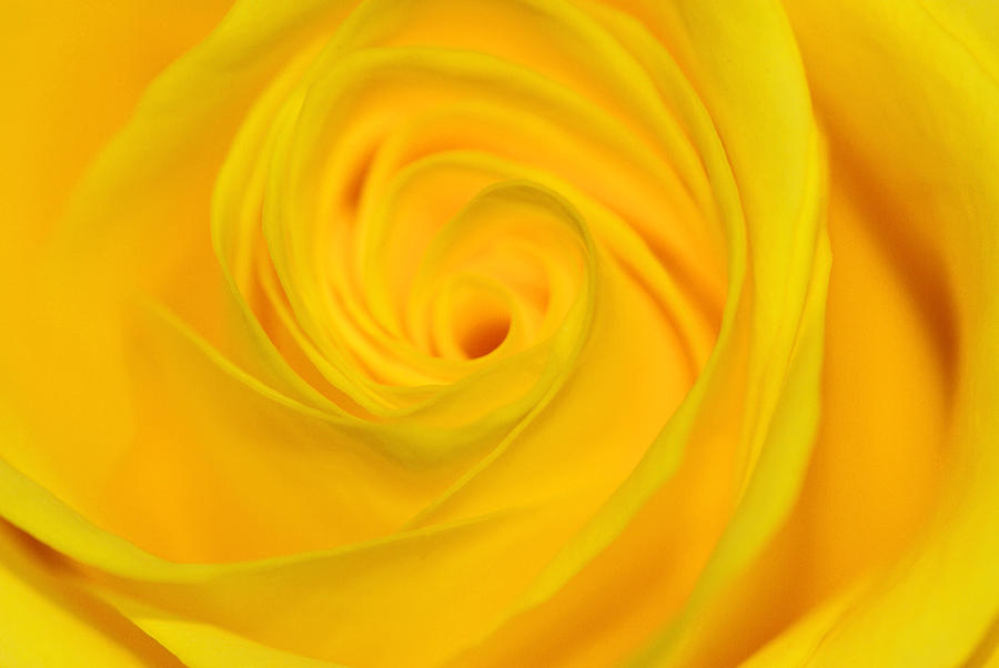 Rose Photograph - Yellow Rose by Lucienne Sencier
