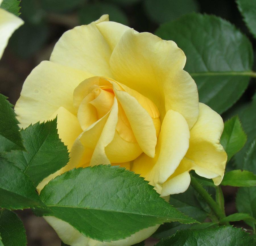 Perfect Photograph - Yellow Rose by Shelley Wilson