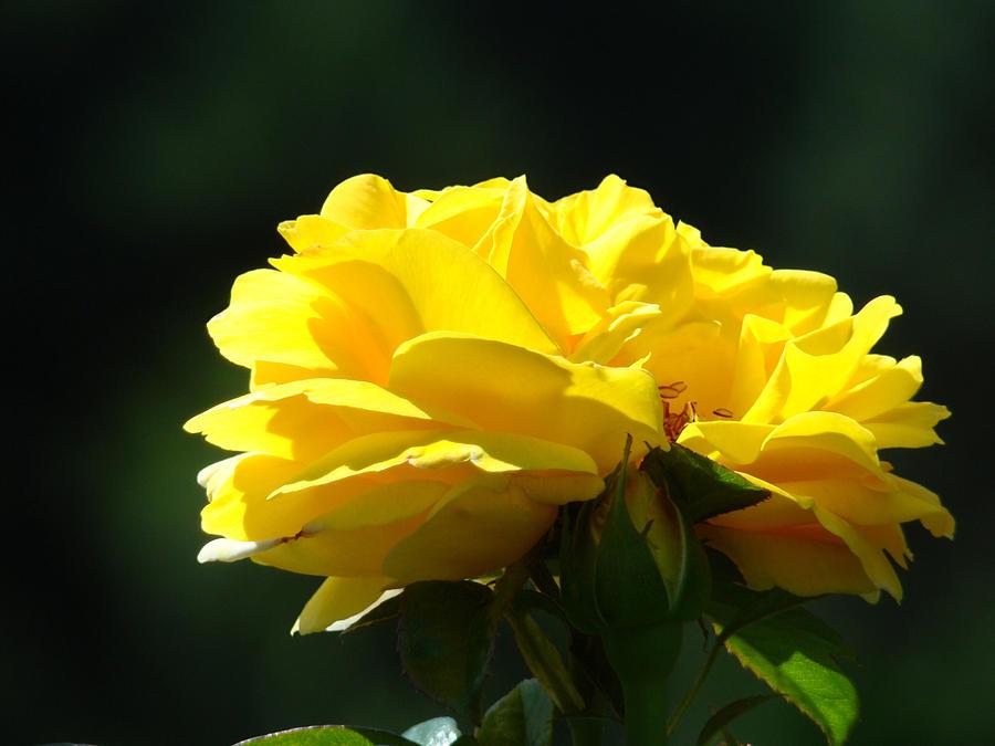 Rose Photograph - Yellow Rose Sunlit Rose Garden Landscape Art Baslee Troutman  by Baslee Troutman