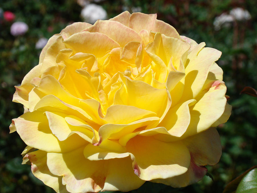 Rose Photograph - Yellow Rose Sunlit Summer Roses Flowers Art Prints Baslee Troutman by Baslee Troutman