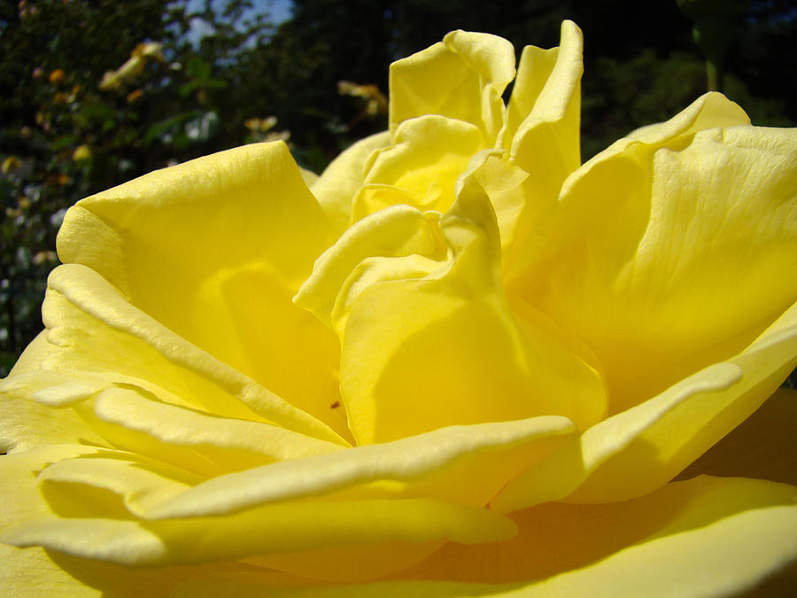 Rose Photograph - Yellow Rose Sunny Art Prints Roses Flowers Baslee Troutman by Baslee Troutman
