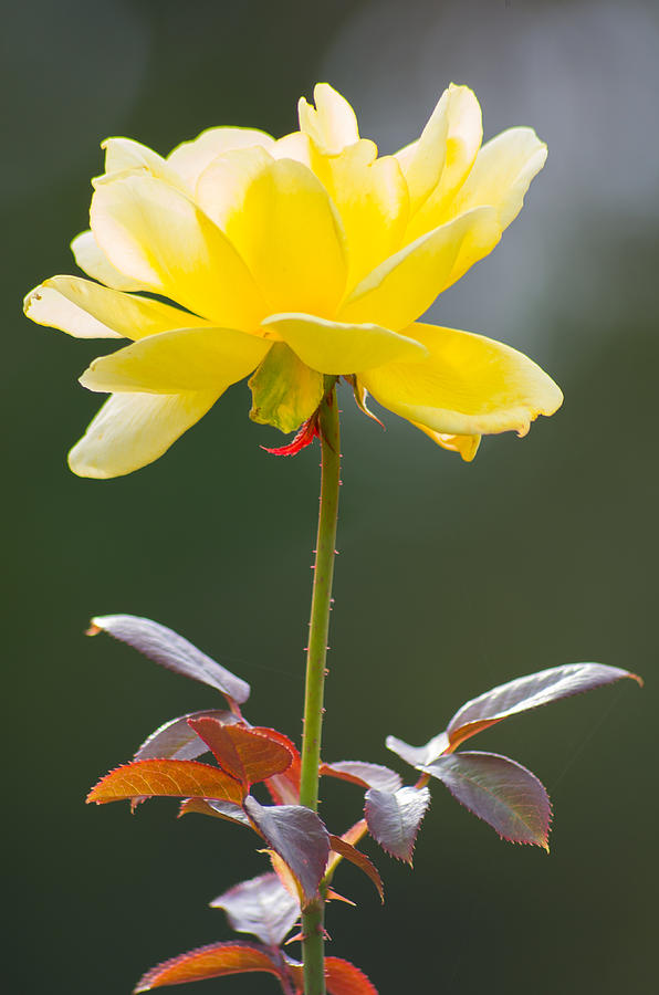 Yellow Rose by Willard Killough III