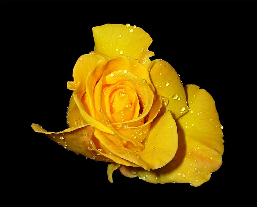 Rose Photograph - Yellow Rose With Dew Drops by Patricia Barmatz