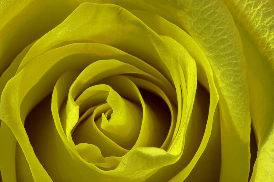Yellow Photograph - Yellow Rose by Zev Steinhardt