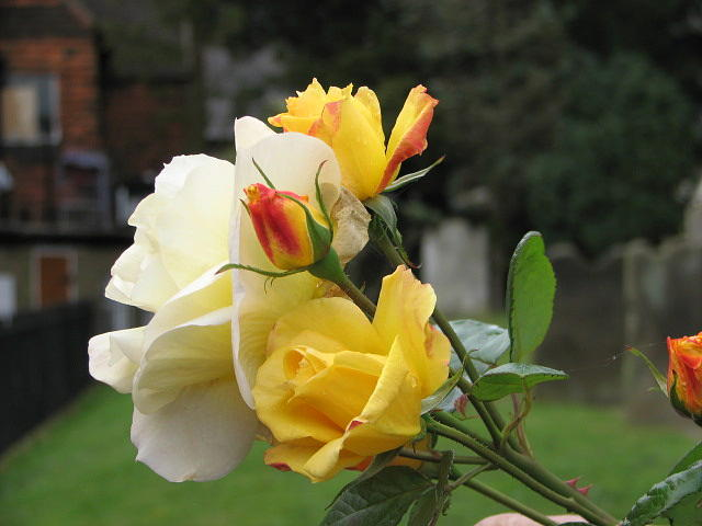 Rose Photograph - Yellow Roses of East Grinstead by Libby  Cagle