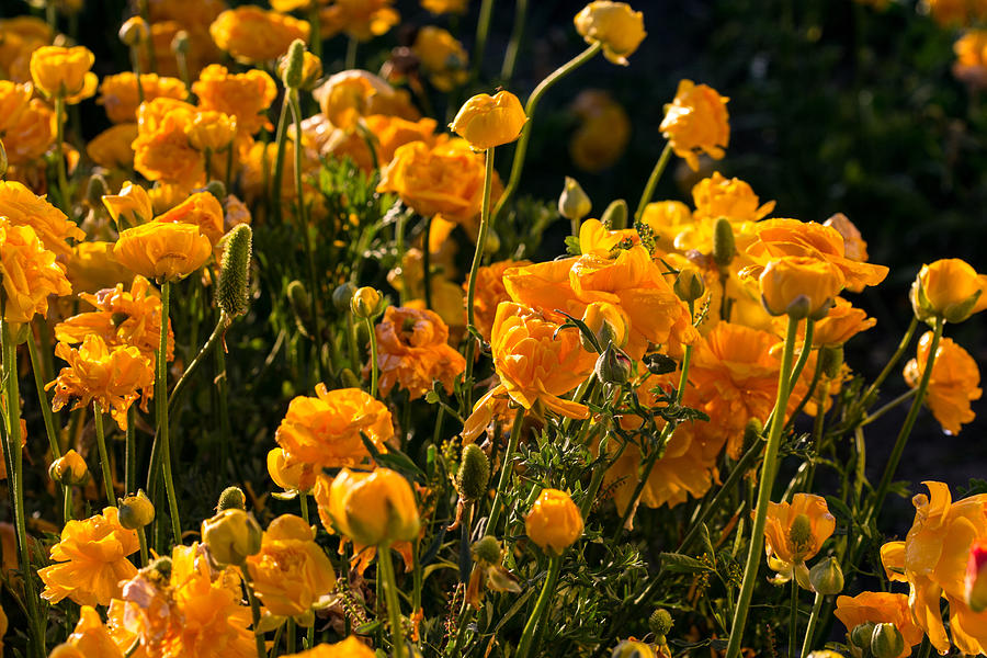 Flowers Photograph - Yellow Rules The Field by Mark Perelmuter