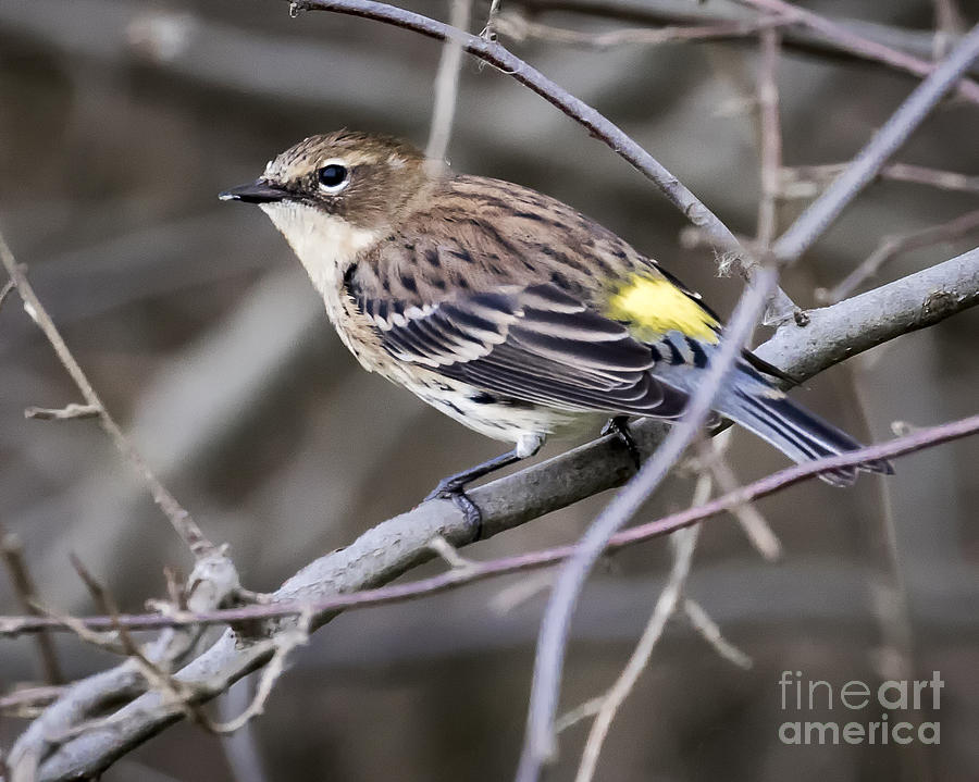 Canon Photograph - Yellow-rumped Warber In Fall Colors by Ricky L Jones
