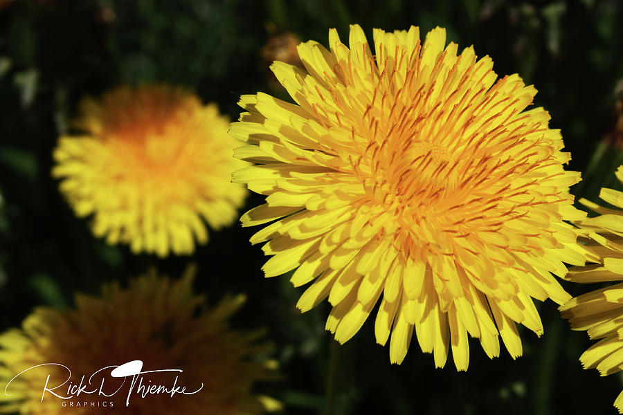 Yellow Scurge by Rick Thiemke