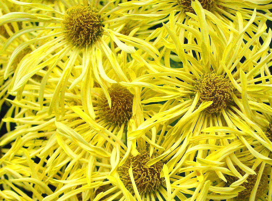 Flowers Photograph - Yellow Spider Mums by Richard Singleton