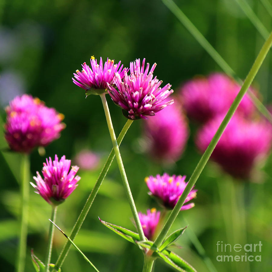 Yellow Spotted Clover Flowers by Jackie Farnsworth