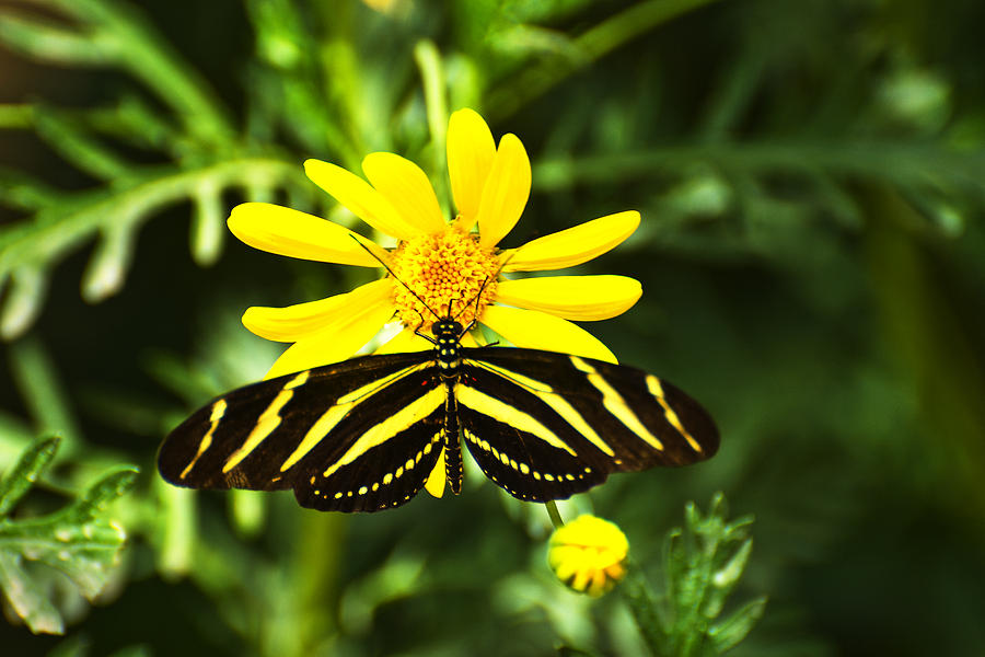 Butterfly Photograph - Yellow Stripes on Yellow Flower by Richard Henne