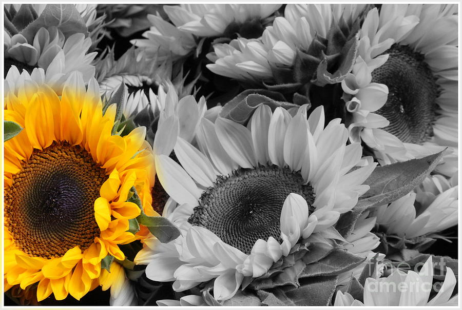 Sunflower photograph yellow sunflower on black and white by dora sofia caputo photographic design and