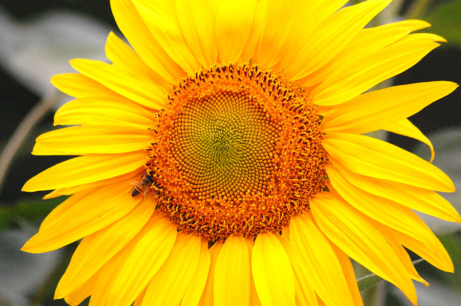 Sunflower Photograph - Yellow Sunflower With Bee by Amy Fose