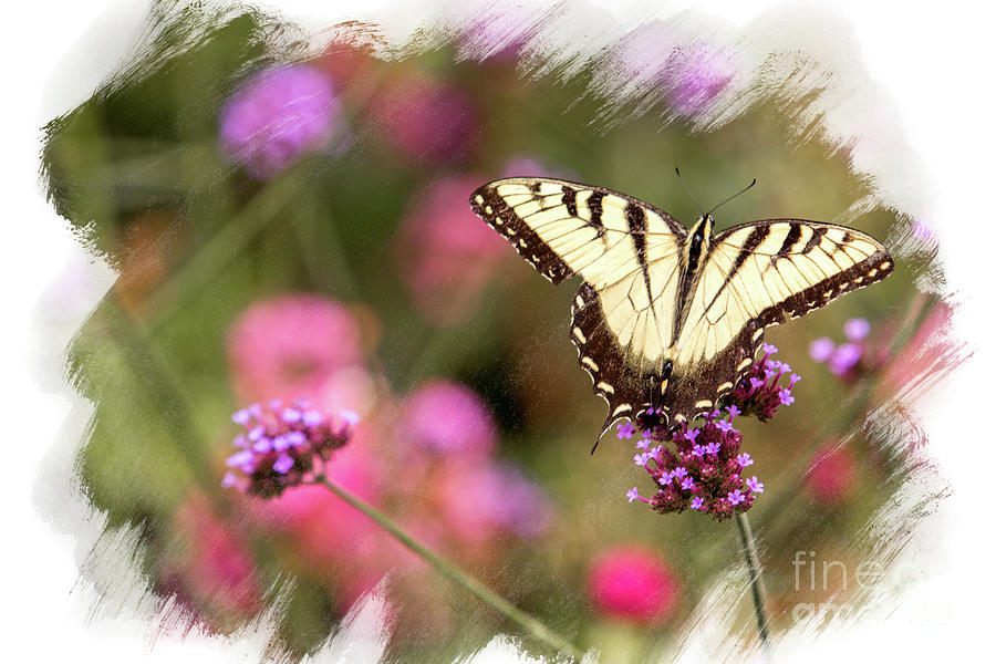 Yellow Swallowtail With Brushed Edge Photograph