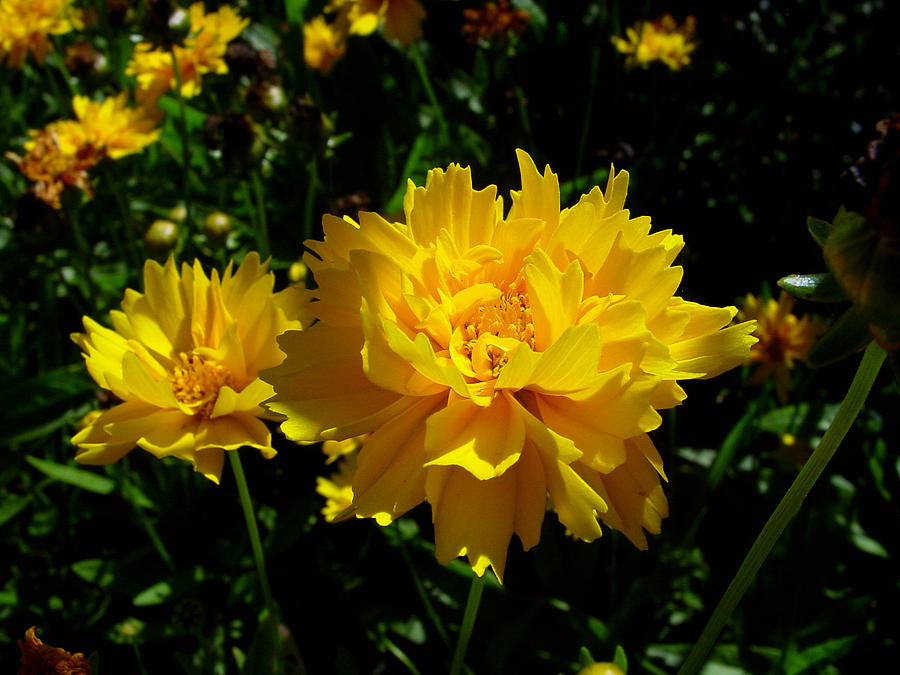Flower Photograph - Yellow Symphony by Edan Chapman