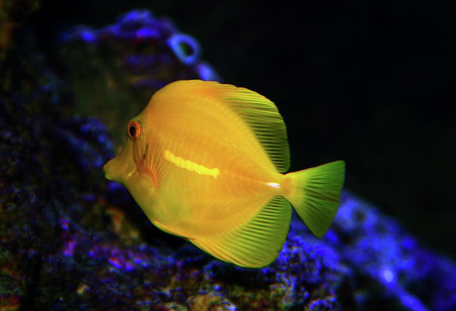 Yellow Tang Photograph