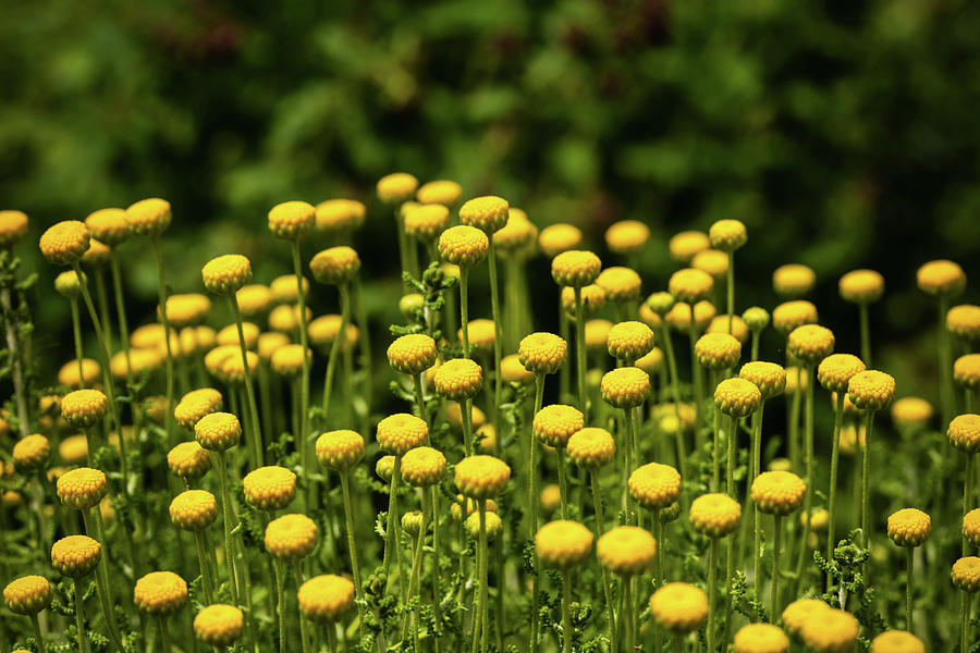 Flowers Photograph - Yellow Tansy by Nick Bywater