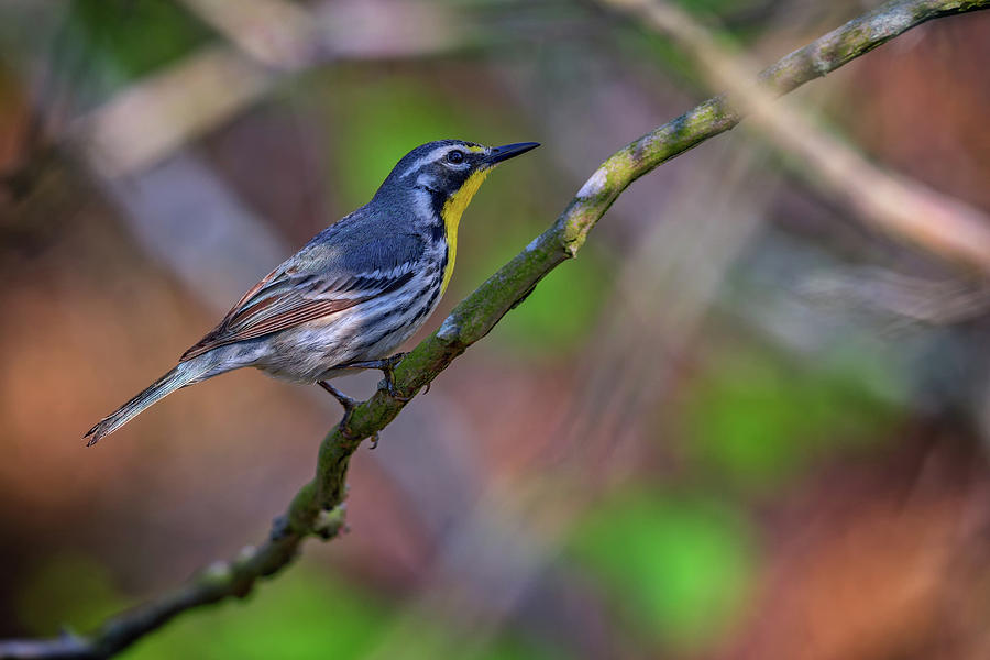 Yellow-throated Warbler Photograph - Yellow-throated Warbler by Rick Berk