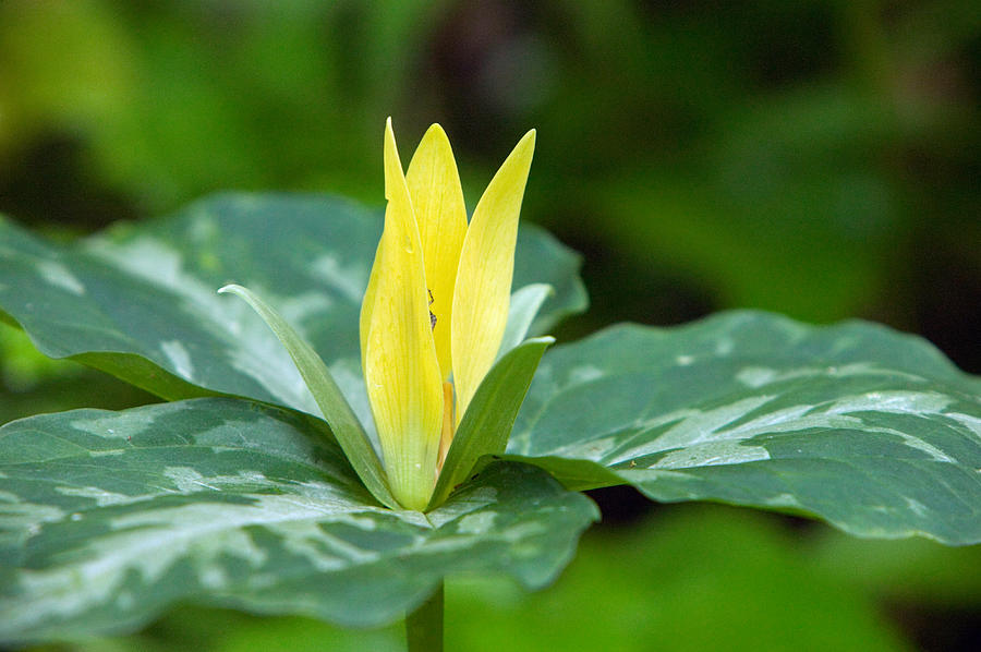 Yellow trillium flower trillium luteum photograph by panoramic images color image photograph yellow trillium flower trillium luteum by panoramic images mightylinksfo