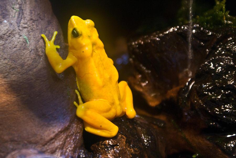 Frog Photograph - Yellow Tropical Frog by Douglas Barnett