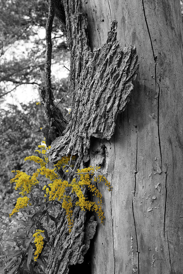 Bark Photograph - Yellow Tufts by Dylan Punke