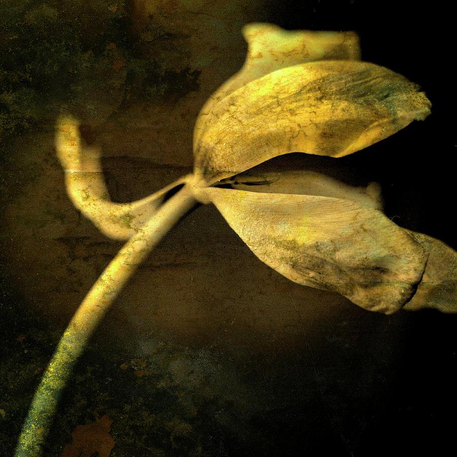 Still Life Photograph - Yellow Tulip by Bernard Jaubert