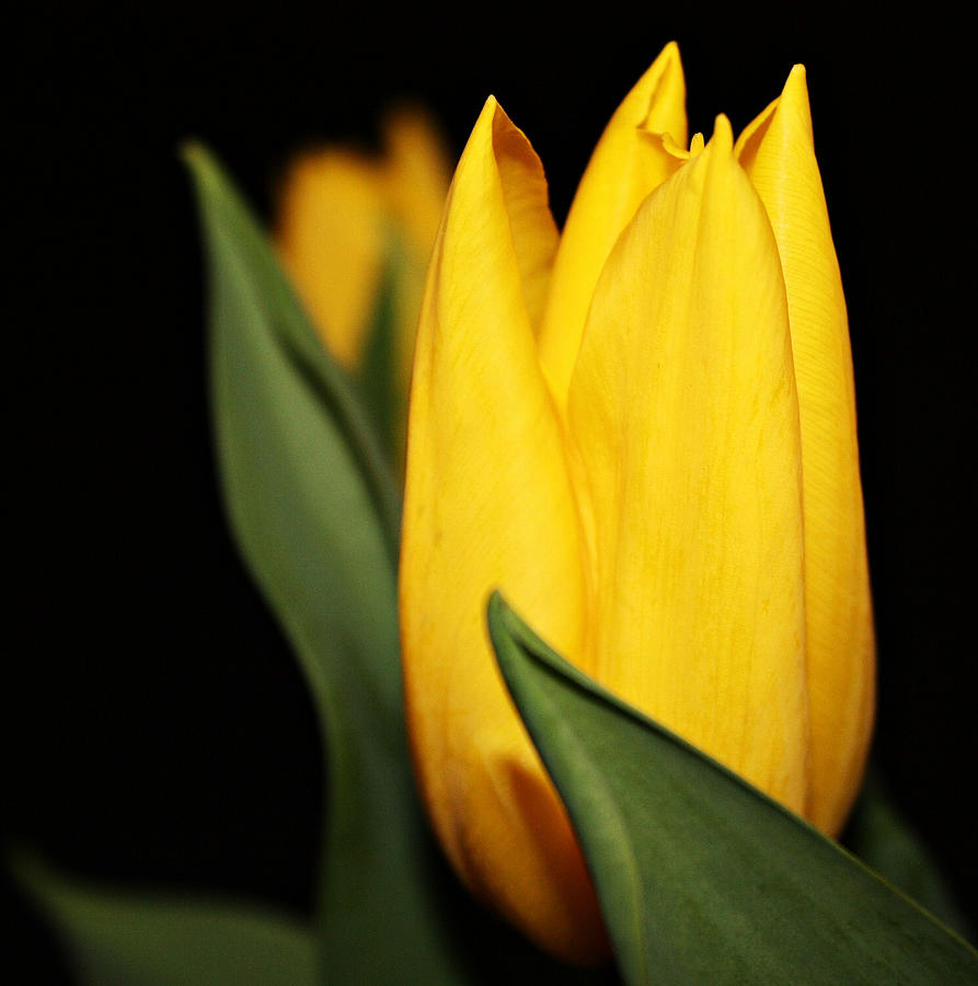 Tulip Photograph - Yellow Tulip by Cathie Tyler