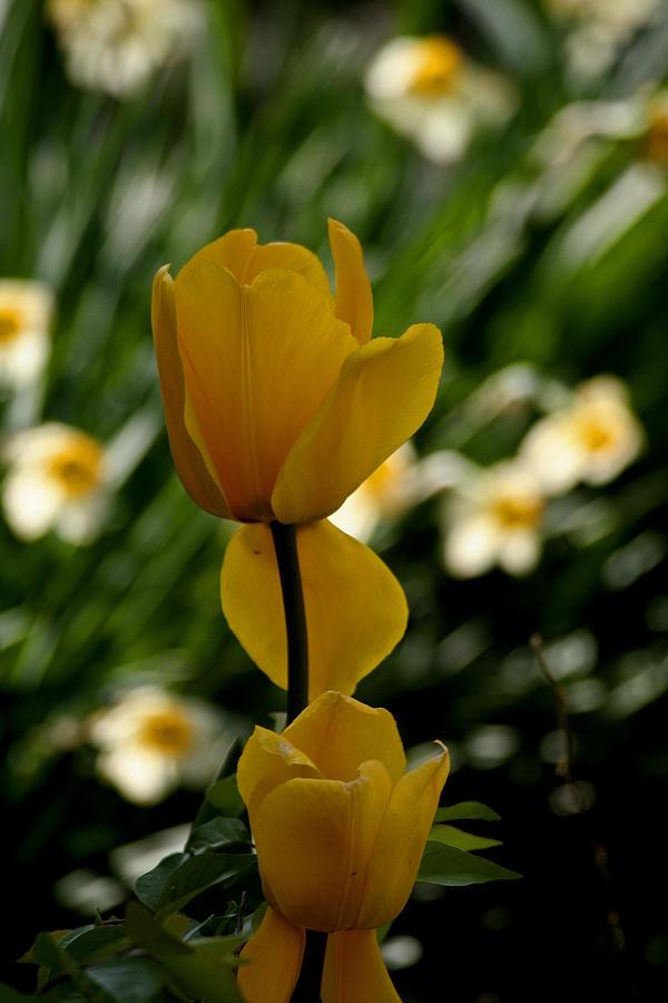 Tulips Photograph - Yellow Tulips And Dafadills by Martin Morehead
