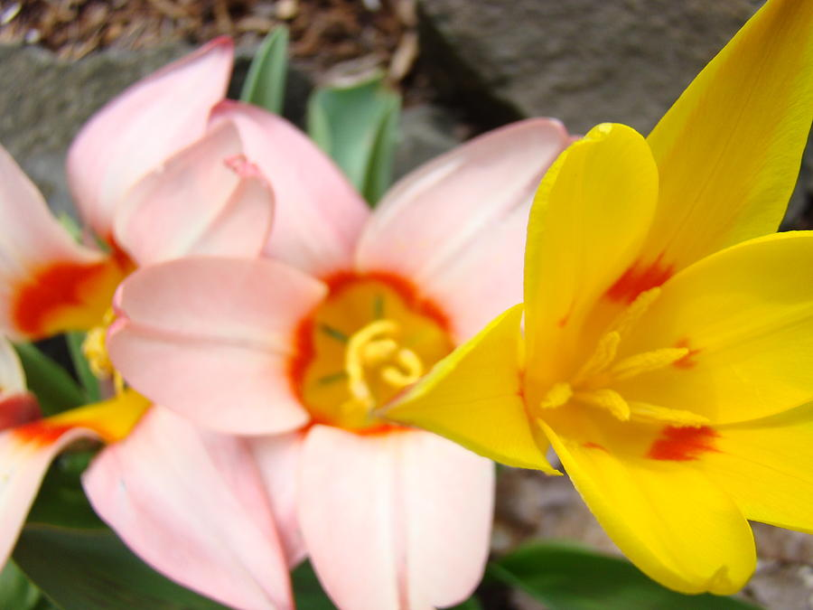 Tulip Photograph - Yellow Tulips Art Prints Pink Tulips Spring Florals Baslee Troutman by Baslee Troutman
