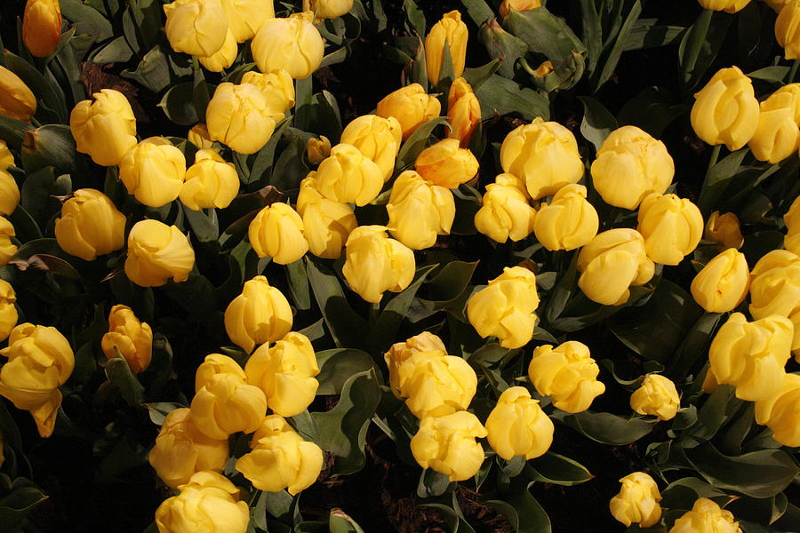 Tulips Photograph - Yellow Tulips by Jeff Porter