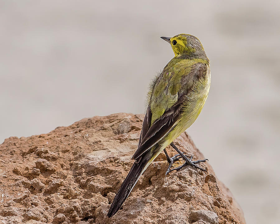 Western Yellow Wagtail Photograph - Yellow Wagtail by Morris Finkelstein