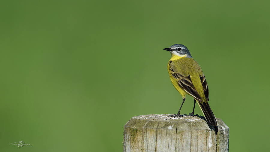 Yellow Wagtail Perching On The Roundpole Photograph