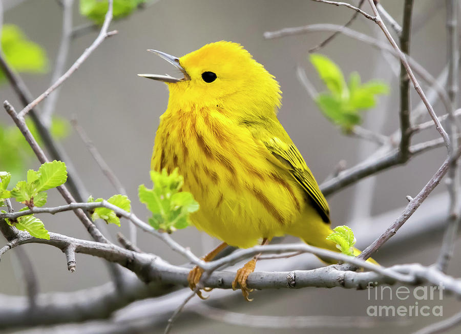 Canon Photograph - Yellow Warbler  by Ricky L Jones