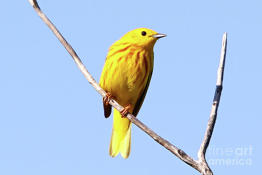 Yellow Warbler Photograph - Yellow Warbler #1 by Marle Nopardi