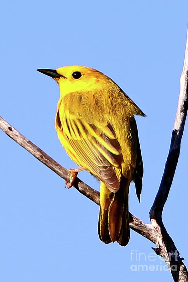 Yellow Warbler Photograph - Yellow Warbler #2 by Marle Nopardi