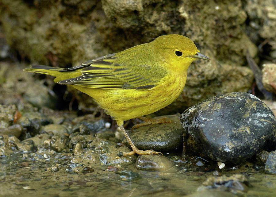 Birds Photograph - Yellow Warbler by Doug Herr