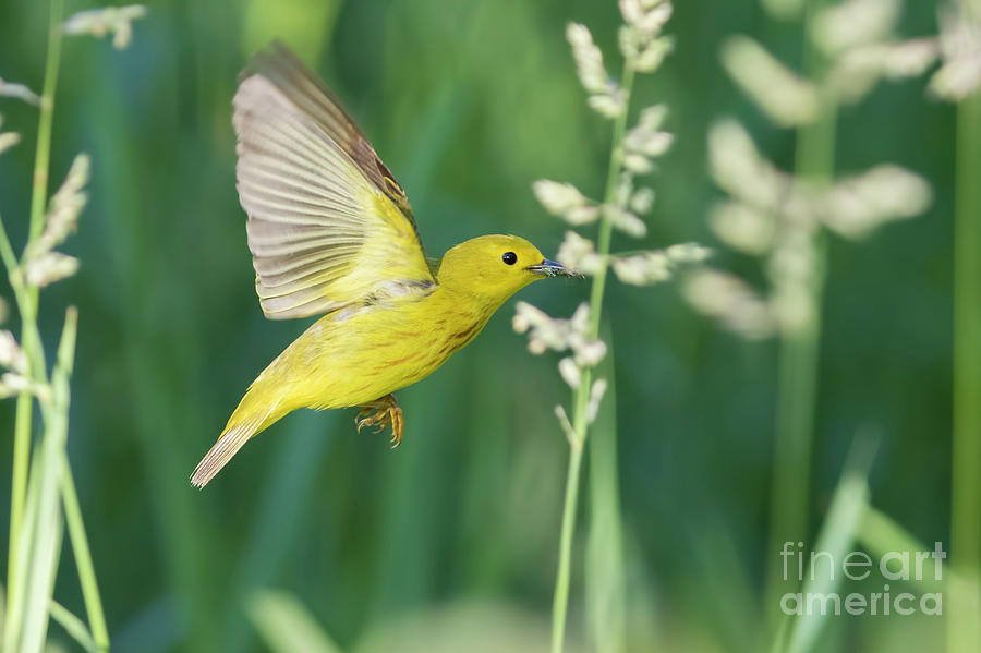 Yellow Warbler In Flight Photograph By Mircea Costina Photography
