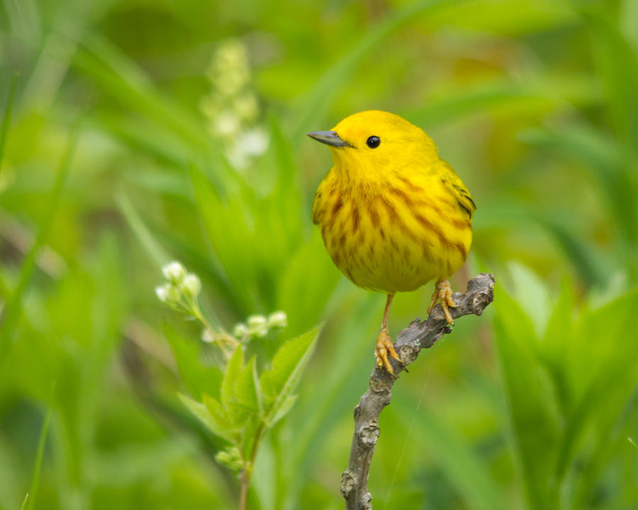 Yellow Photograph - Yellow Warbler by Kimberly Kotzian