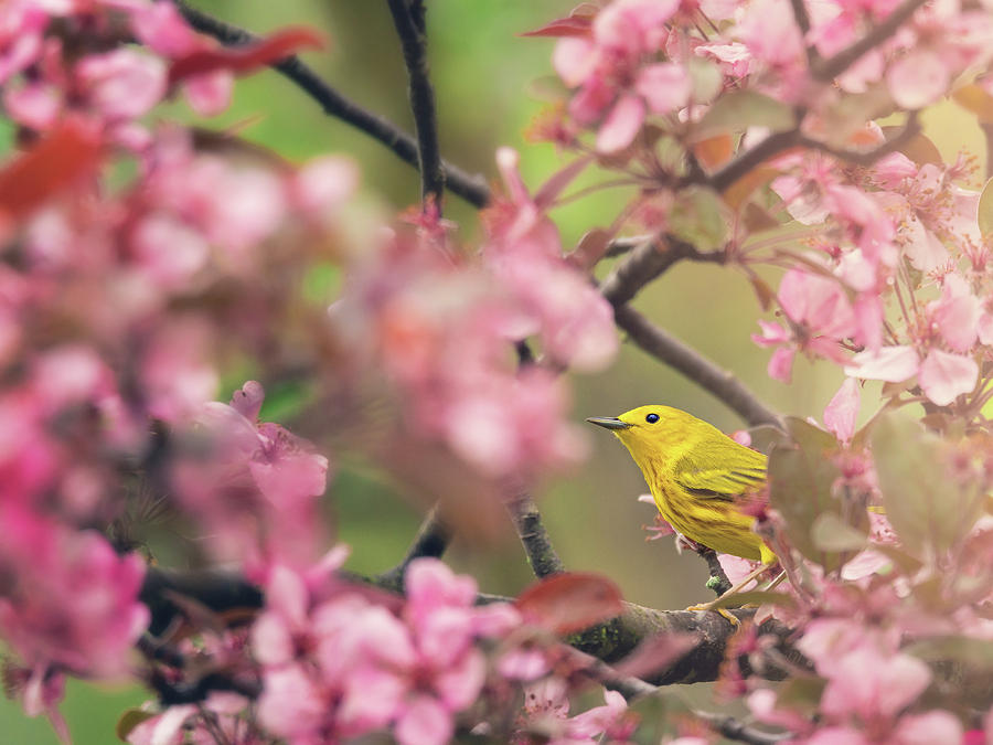 Yellow Warbler With Cherry Blossoms by Tracy Munson