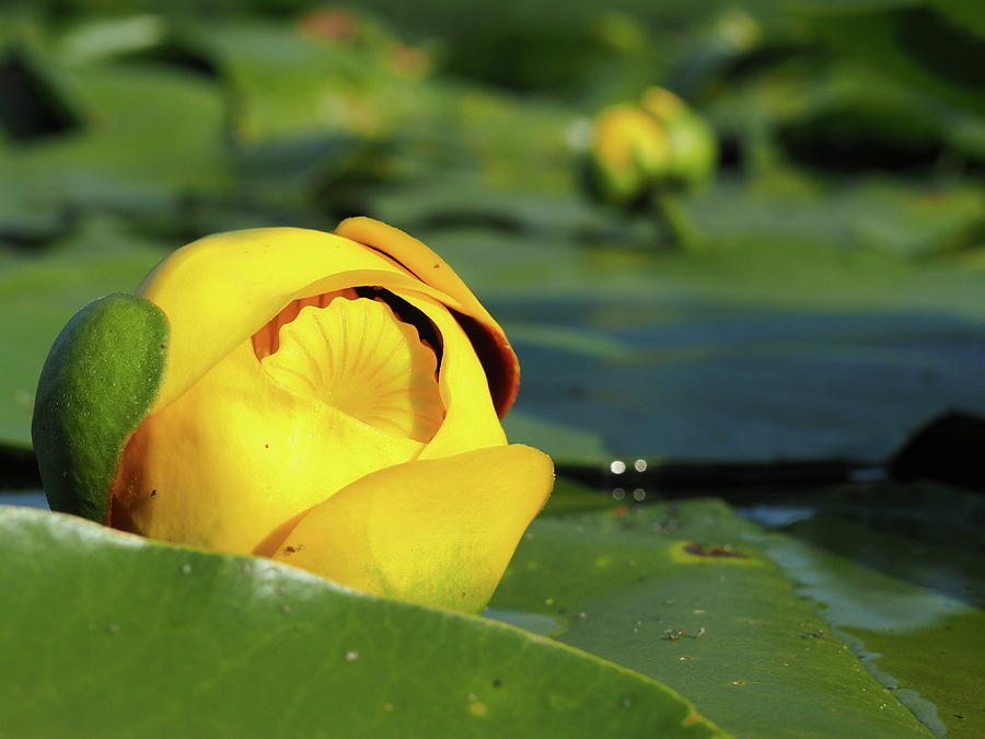 Yellow Photograph - Yellow Water Lily by James Peterson