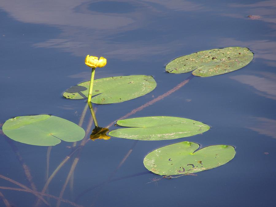 Water Photograph - Yellow Water Lily by Vesna Martinjak