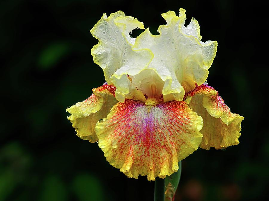 Iris Photograph - Yellow White And Burgundy Iris by Grant Groberg